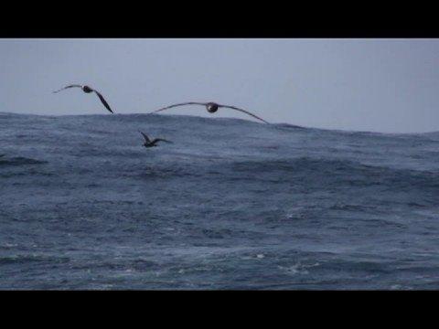 Black-footed Albatross- Albatros patinegro (Phoebastria nigripes)