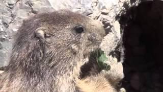 marmotte sauze le lac