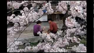 Цветы Войны, красивая японская песня