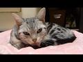 飼い主(インフル)がなんとなく気になる猫 ~落ち着かない毛づくろい -Cat is worried about Mom's influenza
