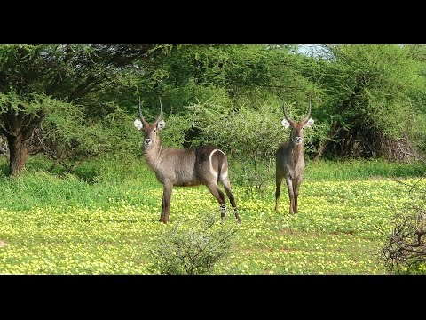 SOUTH AFRICA waterbuck, Kruger national park (hd-video)