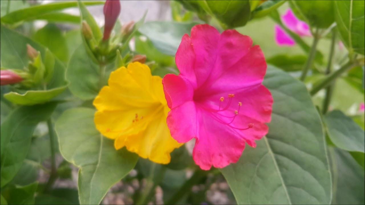 Poradnik Ogrodowy 10 Kwiaty Jednoroczne Niecierpek Dziwaczek Tyton Skrzydlaty Youtube Flowers Plants Rose