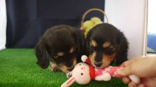 ミニチュアダックスフンド2016.4/1生まれの兄妹の子犬の動画です。 この...