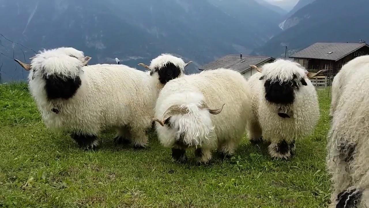 Essas Ovelhas Sao Valaise Blacknose Conhecida Como Nariz