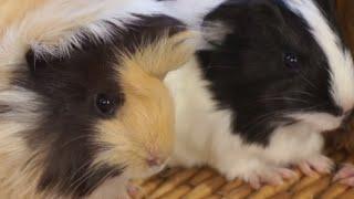 GUINEA PIGS - The guinea pig