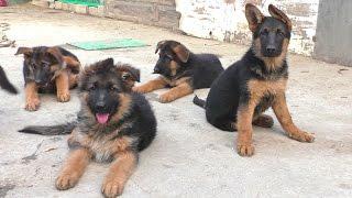 Щенки Немецкой Овчарки 2,5 мес. Puppies German Shepherd 2.5 months.