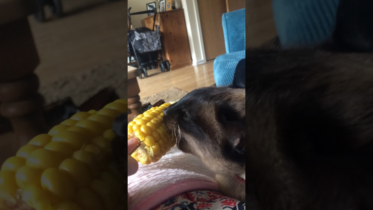 Siamese Cat Eating Corn On The Cob
