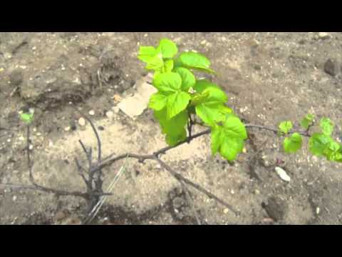 How to Grow Grapes - Growing Grapes - Backyard Vinyard