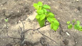 How to Grow Grapes - Growing Grapes - Backyard Vinyard