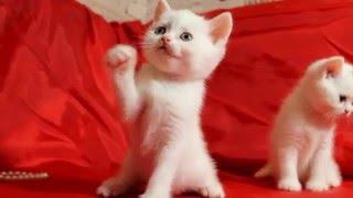 Продаются замечательные шотландские котята