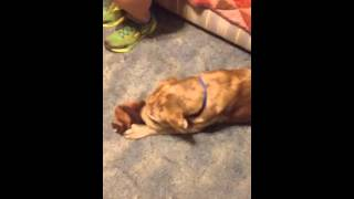 Hank The Shar Pei Mix Playing Tug.