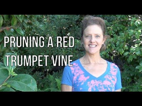 Pruning A Red Trumpet Vine