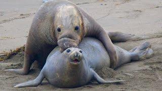 Piedras Blancas Elephant Seal Rookery - Big Sur, CA