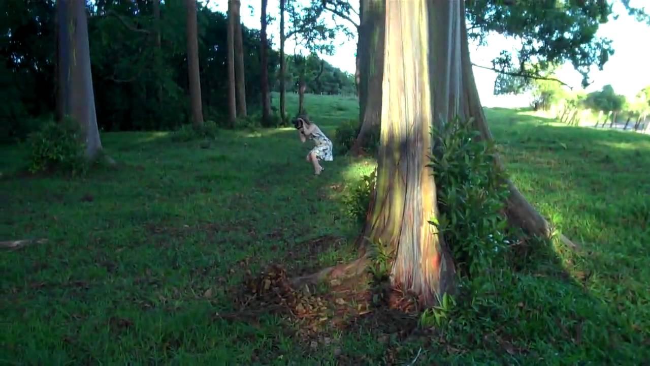 rainbow eucalyptus trees maui youtube