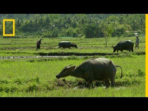 Le buffle domestique, animal national des Philippines