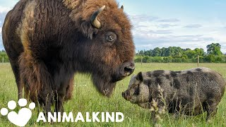 1200-pound bison takes care of every animal on farm | Animalkind