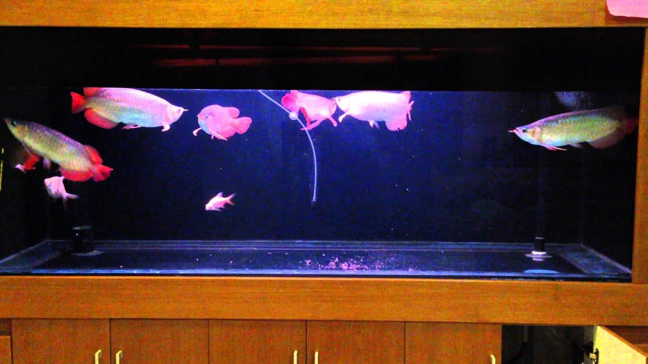 Ikan Arwana Satu Aquarium 7 Ekor Bag 3 Super Red