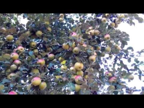 Яблони продпжа Купить саженцы яблони, все сорта для