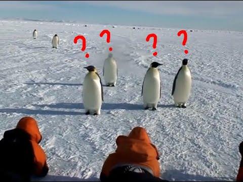 Emperor Penguin observing Humans???