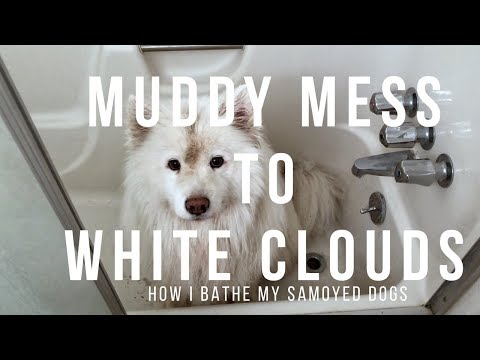 Mud Brown to White Samoyed! | Tips on How to Make Bath Time Painless for Your Dog