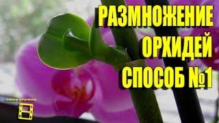 Размножение орхидей фаленопсис. Способ №1(начало). Орхидеи видео.(Размножение (уход) орхидеи фаленопсис с помощью цитокининовой пасты в домашних условиях. Орхидея домашняя..., 2016-03-05T04:39:55.000Z)