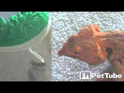 Hungry Hungry Lizard - PetTube