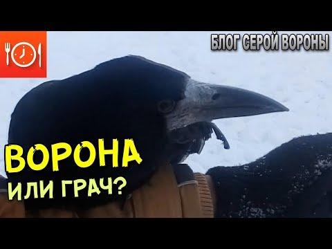 Как отличить ворону от грача