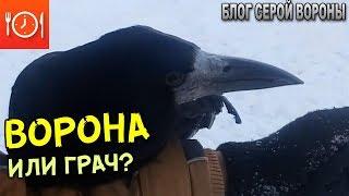 Такие разные -  грач и ворона.  В чем отличия между этими видами
