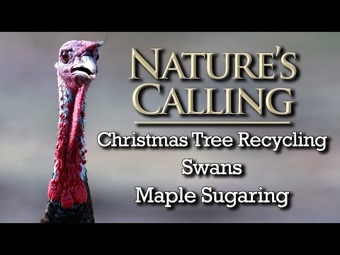 Nature's Calling - Christmas Tree Recycling, Swans, Maple Sugaring (Jan 2017)