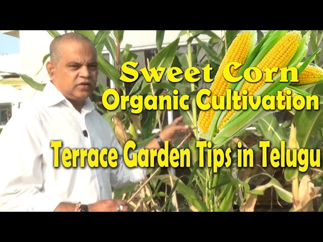 how to grow corn on terrace in india