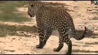 Lampart dzika przyroda Afryki ,, Safari