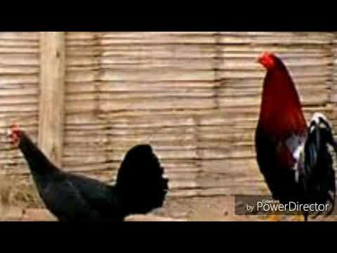 Origen y características del gallo español