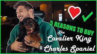 5 Reasons you SHOULD get a Cavalier King Charles Spaniel!