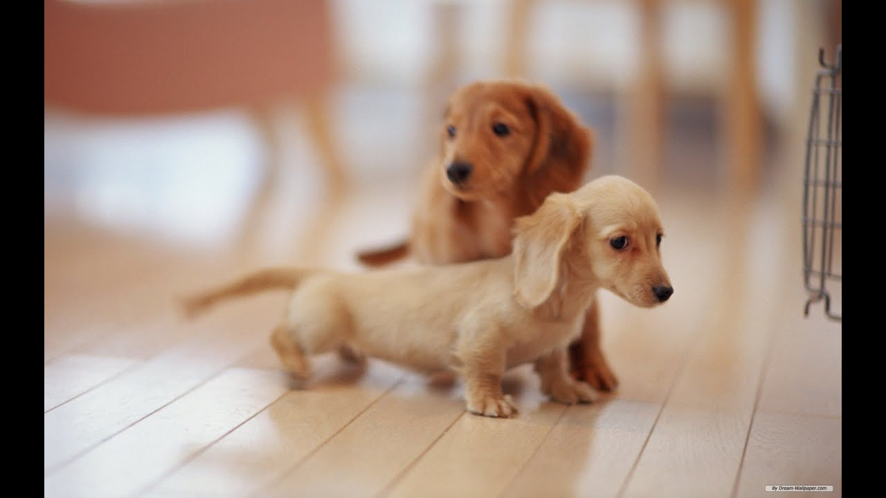 Miniature Mini Dachshund Puppies For Sale by TeaCups, Puppies
