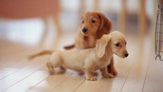 Miniature Dachshund - Dog Lovers ❤
