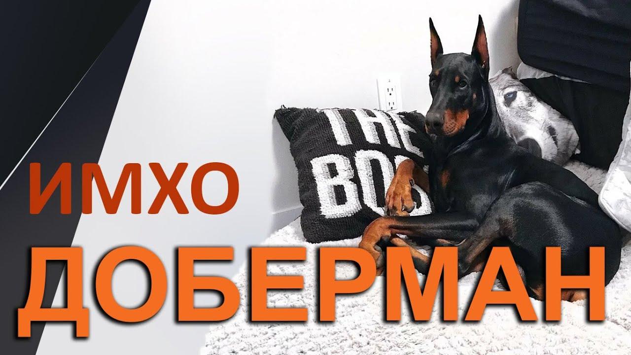 О породе Доберман - ИМХО