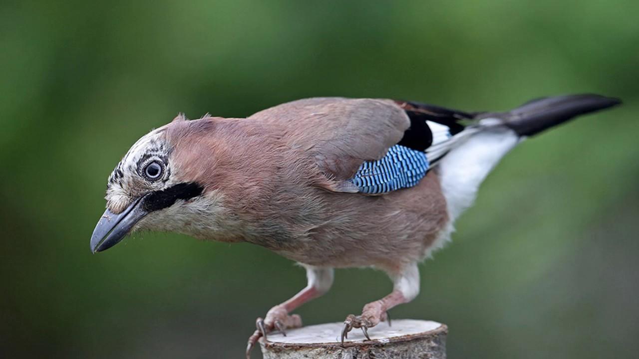 Top 10 des plus beaux oiseaux de belgique youtube for Oiseaux de nos jardins belgique