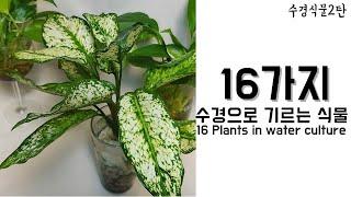 [수경식물2탄] 수경에서 기르는 16가지 식물_16 P…