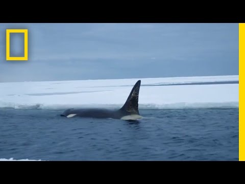 Eyes on Orcas | Continent 7: Antarctica