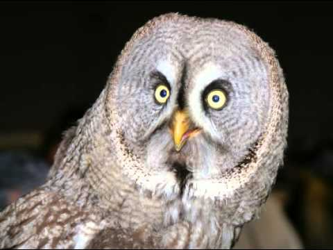 Great Grey Owl Facts - Facts About Great Grey Owls - YouTube
