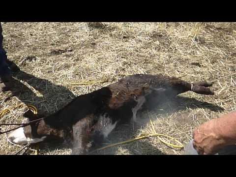 Cattle branding in Montana