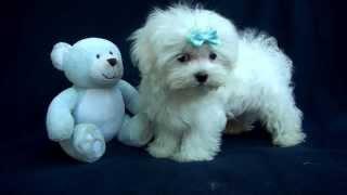 Maltese Baby Boy #2