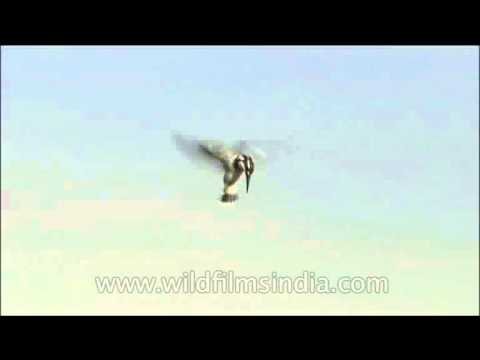 Pied Kingfisher hovering mid-air on YouTube