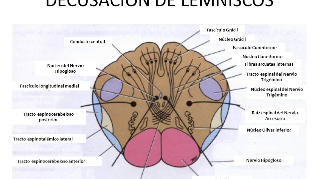Clase 7 Encéfalo y Tronco encefálico - YouTube