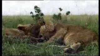 Lion cubs vs moongoose - BBC wildlife