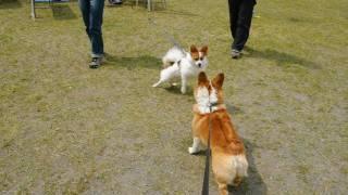 Small Animals 20110430 Goro@welsh Corgi