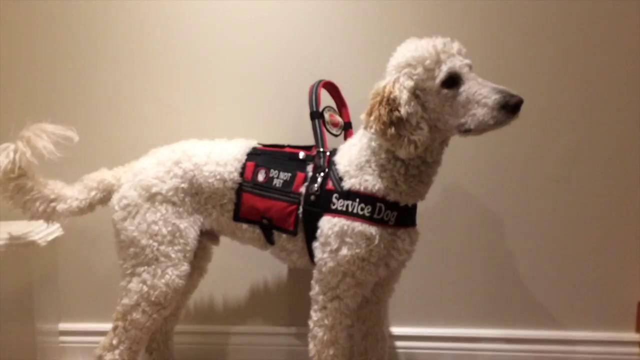 Working Service Dog Gear