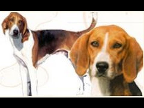 *~American Foxhound~* What do you know about this breed? Are you right for the American Foxhound?