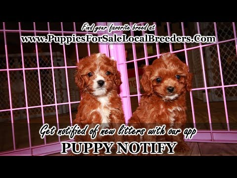 CAVAPOO PUPPIES FOR SALE, GEORGIA LOCAL BREEDERS, GWINNETT COUNTY, GA