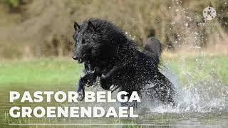 PASTOR BELGA GROENENDAEL.